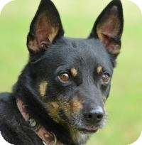 Chihuahua/Terrier (Unknown Type, Small) Mix Dog for adoption in Jacksonville, Arkansas - Pedro