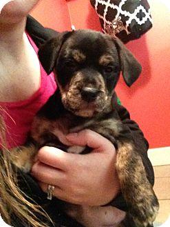 Pit Bull Terrier Mix Puppy for adoption in Grand Rapids, Michigan - Sasha