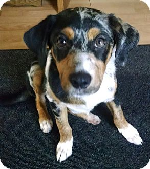 Bluetick Coonhound Mix Dog for adoption in New Oxford, Pennsylvania - Avery