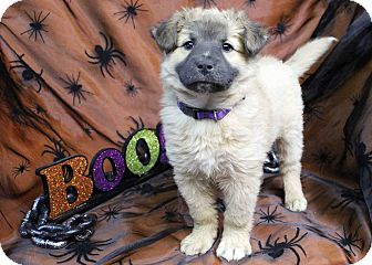 Keeshond Mix Puppy for adoption in Westminster, Colorado - Party