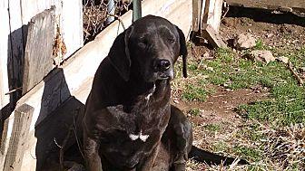 Labrador Retriever Mix Dog for adoption in Marion, North Carolina - Billy