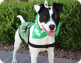 Jack Russell Terrier/American Pit Bull Terrier Mix Dog for adoption in Las Vegas, Nevada - POPPIE