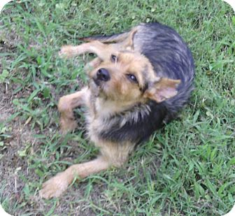 Yorkie, Yorkshire Terrier/Terrier (Unknown Type, Small) Mix Dog for adoption in Olive Branch, Mississippi - Piper-Only 11 pounds