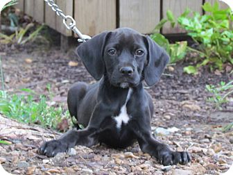 Cocker Spaniel Mix Puppy for adoption in Hartford, Connecticut - RHETT