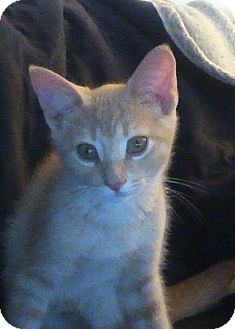 Domestic Shorthair Kitten for adoption in Cambridge, Ontario - Todd