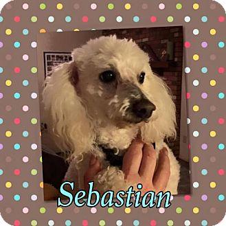 Poodle (Miniature) Dog for adoption in Phoenix, Arizona - Sebastian