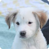 Adopt A Pet :: Romeo - Tumwater, WA