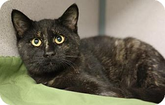 Domestic Shorthair Cat for adoption in Voorhees, New Jersey - Artemis