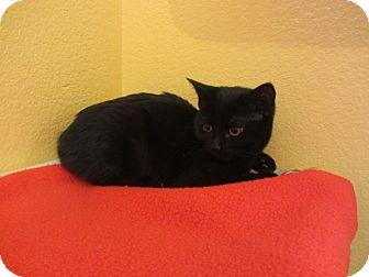 Domestic Shorthair Cat for adoption in Ridgway, Colorado - Puma