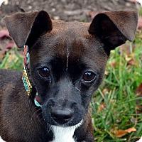 Adopt A Pet :: Abby - Bridgeton, MO