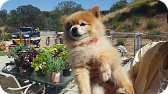 Pomeranian Mix Dog for adoption in Creston, California - Kobe