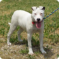 Adopt A Pet :: Dancer ~ deaf - Troy, MI