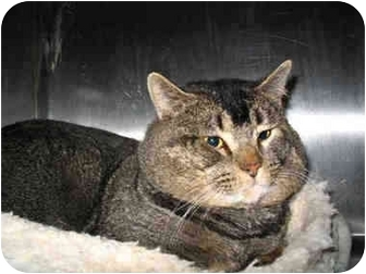 Abyssinian Cat for adoption in South Lake Tahoe, California - Apache