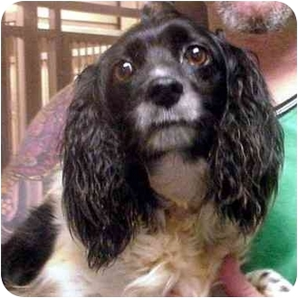 Springer Spaniel/Cocker Spaniel Mix Dog for adoption in Manassas, Virginia - Fefe