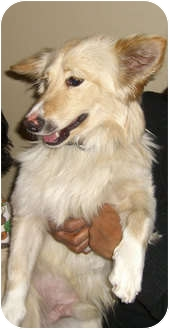 Border Collie/Corgi Mix Dog for adoption in Los Angeles, California - Bowie