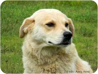 Labrador Retriever/Shepherd (Unknown Type) Mix Dog for adoption in St. James, Missouri - Bobby Sox