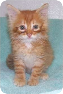 Domestic Shorthair Kitten for adoption in Columbus, Nebraska - Bugger