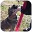Photo 4 - Shepherd (Unknown Type)/Norwegian Elkhound Mix Dog for adoption in FOSTER, Rhode Island - Stella