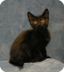 Domestic Shorthair Kitten for adoption in Sacramento, California - Shadow