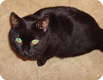 Domestic Shorthair Cat for adoption in Marion, Wisconsin - Tyrone