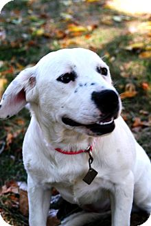 Retriever (Unknown Type)/Blue Heeler Mix Dog for adoption in Westminster, Colorado - June