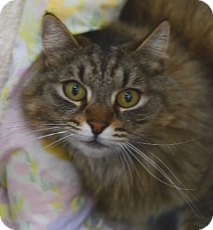 Domestic Longhair Cat for adoption in Gardnerville, Nevada - Tiger