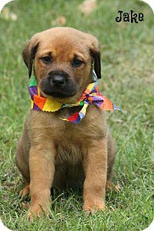 Rottweiler/Labrador Retriever Mix Puppy for adoption in Glastonbury, Connecticut - Jake