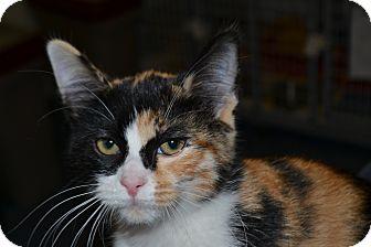 Domestic Shorthair Kitten for adoption in Edwardsville, Illinois - Sabotka