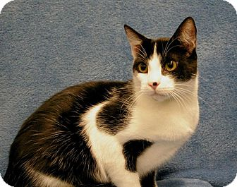 Domestic Shorthair Cat for adoption in Sacramento, California - Italics