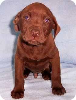 Labrador Retriever/Terrier (Unknown Type, Medium) Mix Puppy for adoption in Byrdstown, Tennessee - Conner
