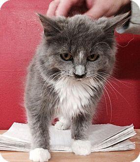 Domestic Longhair Kitten for adoption in tama, Iowa - Sharon