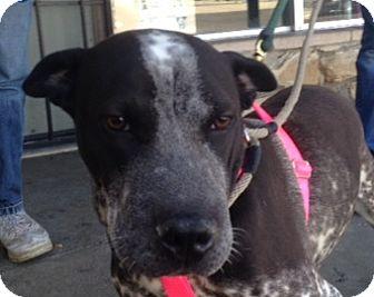 German Shorthaired Pointer/Shar Pei Mix Dog for adoption in Canoga Park, California - Sooner