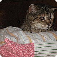 Domestic Shorthair Cat for adoption in Sherman Oaks, California - Sweetums