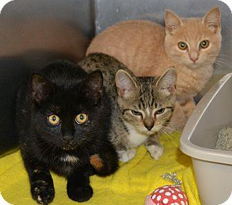 Domestic Shorthair Kitten for adoption in Mineral, Virginia - Oliver, Chloe, Jasper