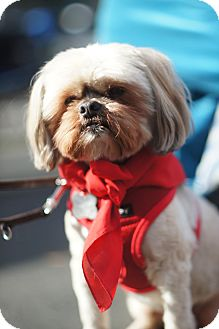 Shih Tzu/Lhasa Apso Mix Dog for adoption in Los Angeles, California - OLIVER - Courtesy