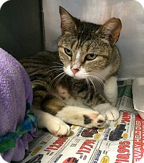 Domestic Shorthair Cat for adoption in Upland, California - Cleo