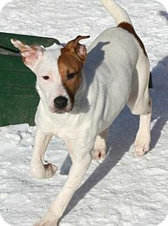 Pit Bull Terrier/Labrador Retriever Mix Puppy for adoption in River Falls, Wisconsin - Superman