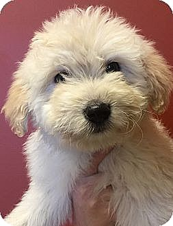 Goldendoodle/Great Pyrenees Mix Puppy for adoption in Oswego, Illinois - I'M ADOPTED Dublin Faust :)