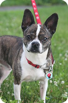 Boston Terrier/Chihuahua Mix Dog for adoption in Wethersfield, Connecticut - Rocky