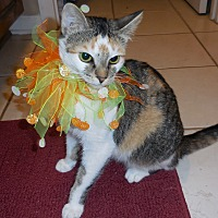 Domestic Shorthair Cat for adoption in Marietta, Georgia - Kamy