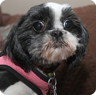 Shih Tzu Dog for adoption in London, Ontario - Moxie