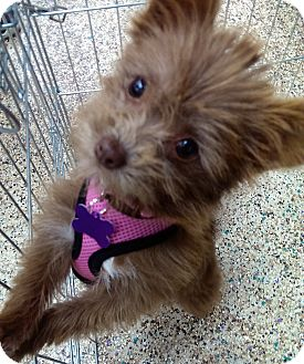 Yorkie, Yorkshire Terrier/Poodle (Miniature) Mix Puppy for adoption in Thousand Oaks, California - Cinnamon