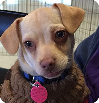 Chihuahua Mix Puppy for adoption in Las Vegas, Nevada - Alf