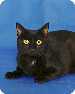 Domestic Shorthair Cat for adoption in Gloucester, Virginia - THIEVES
