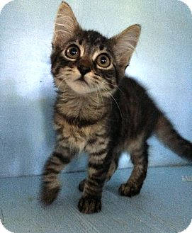 Domestic Shorthair Kitten for adoption in Savannah, Georgia - Brenda