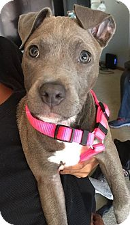 Pit Bull Terrier Mix Puppy for adoption in Lincoln, Nebraska - Piper