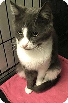 Russian Blue Cat for adoption in Corona, California - RALEIGH