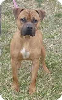 Rhodesian Ridgeback Mix Dog for adoption in Mineral, Virginia - Bosco