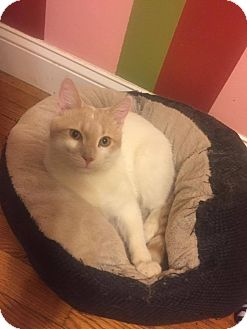 American Shorthair Kitten for adoption in Naugatuck, Connecticut - Toby