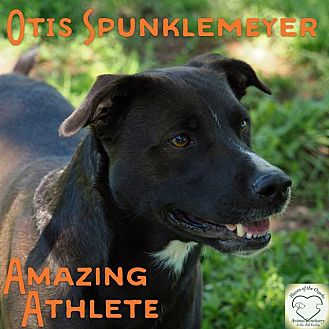 Labrador Retriever/Border Collie Mix Dog for adoption in Washburn, Missouri - Otis Spunkmeyer